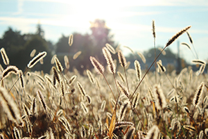 Wheat field during the day
